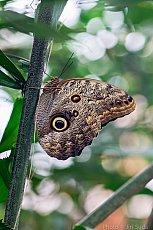 Soví motýl (Caligo Memnon)