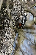 Strakapoud velký (Dendrocopus major)