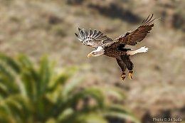 Orel bělohlavý (Haliaeetus leucocephalus)