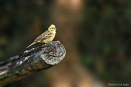 Strnad obecný (Emberiza citrinella)
